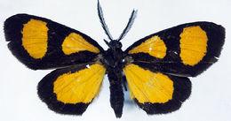 Image of <i>Ctimene salamandra pyrifera</i>