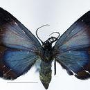 Image of <i>Eubordeta hypocala</i> Rothschild 1901