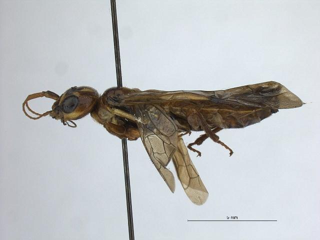 Image of <i>Acantholyda verticalis</i>