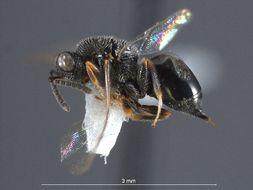 Image of <i>Eurytoma</i>