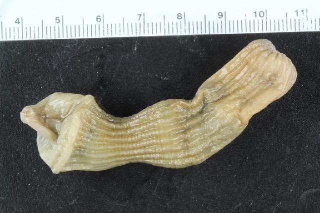 Image of Sipunculus