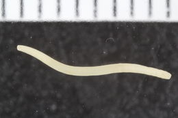 Image of Fauveliopsidae