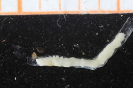 Image of Spiochaetopterus