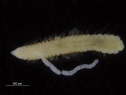 Image of Cossuridae