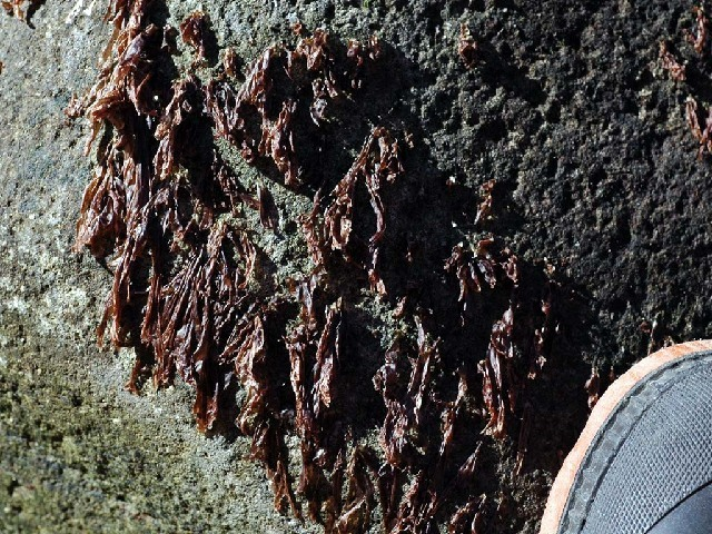 Image of <i>Porphyra umbilicalis</i>