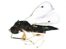 Image of Dinotiscus