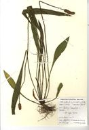 Image of English plantain