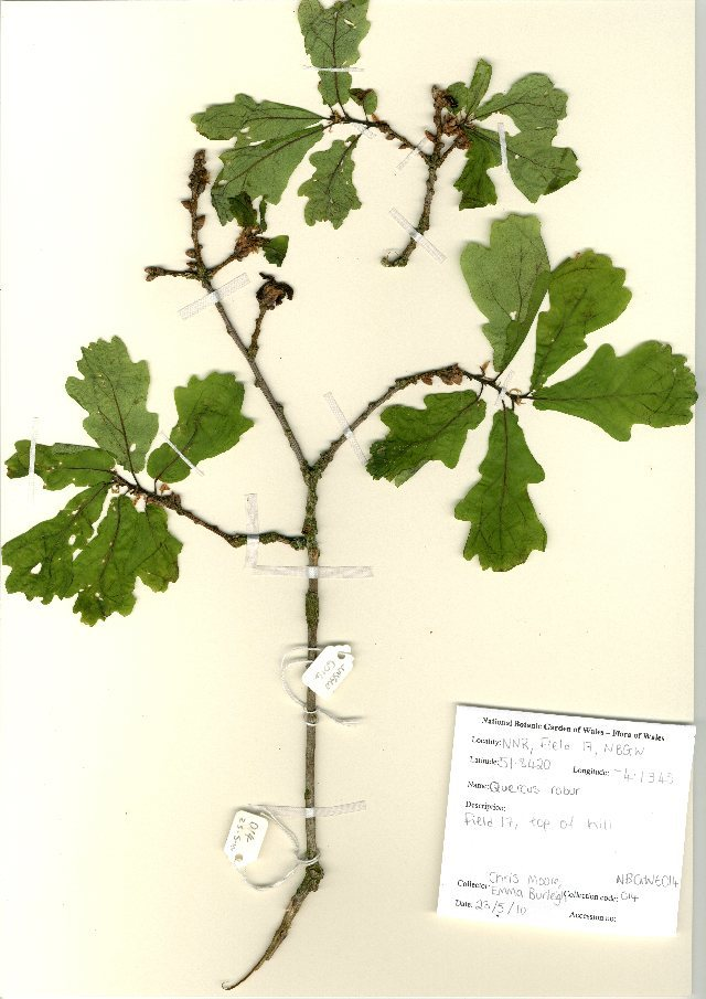 Image of English oak