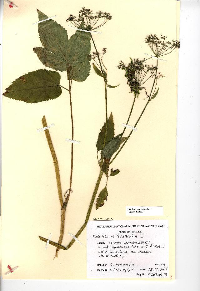 Image of bishop's goutweed