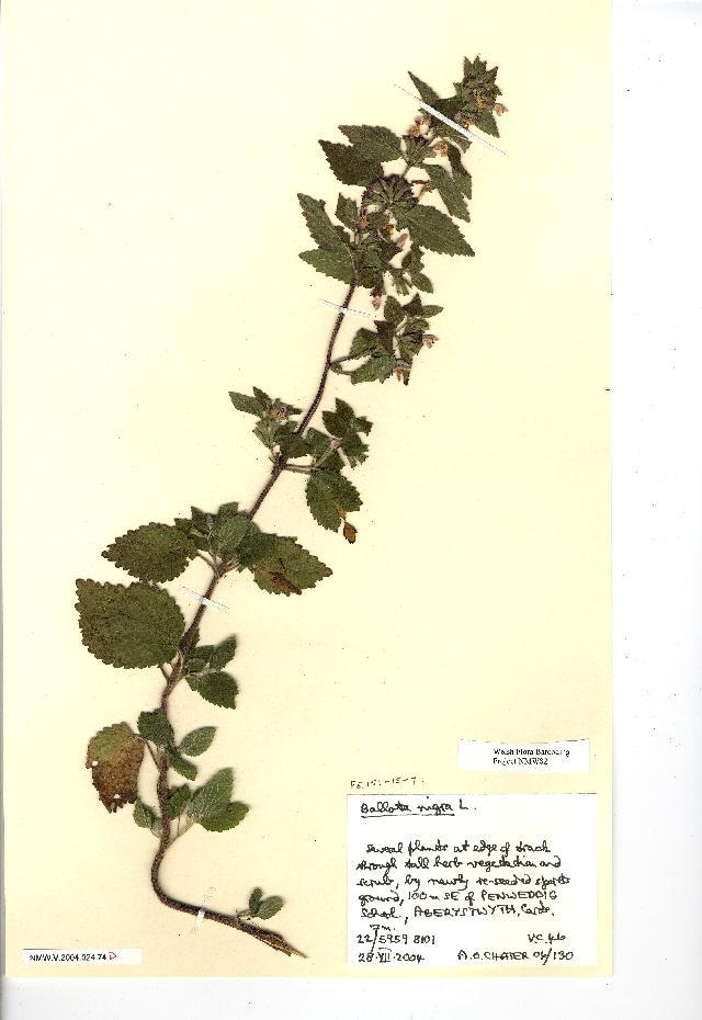 Image of black horehound