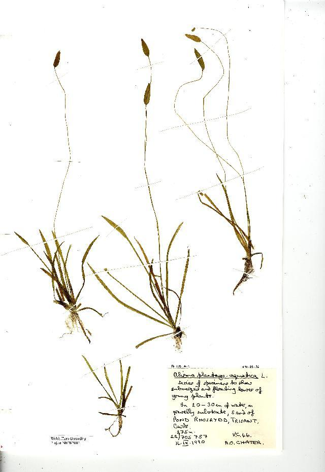 Image of Common Water-plantain