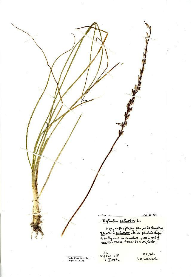 Image of Marsh Arrowgrass