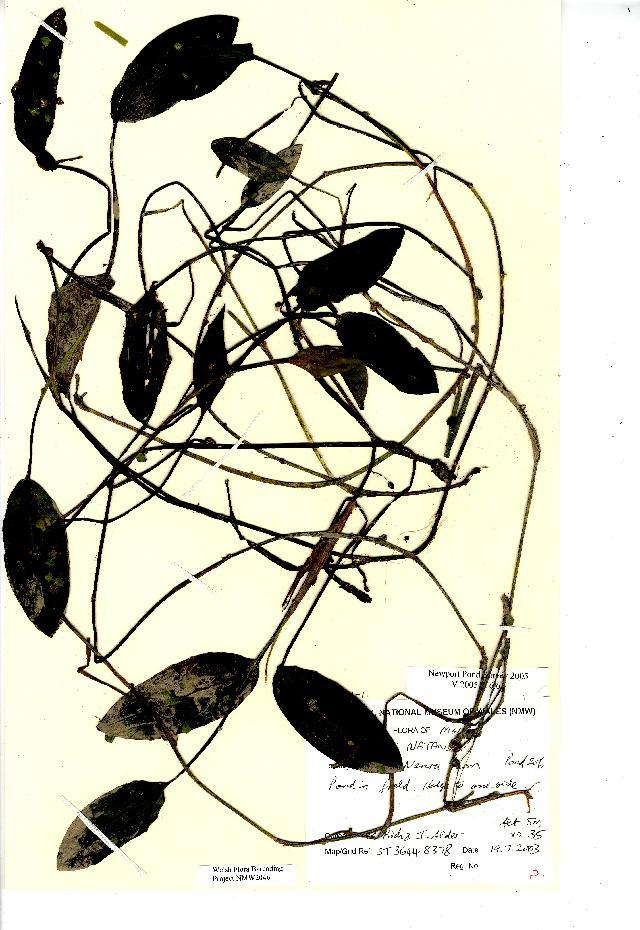 Image of Broad-leaved Pondweed