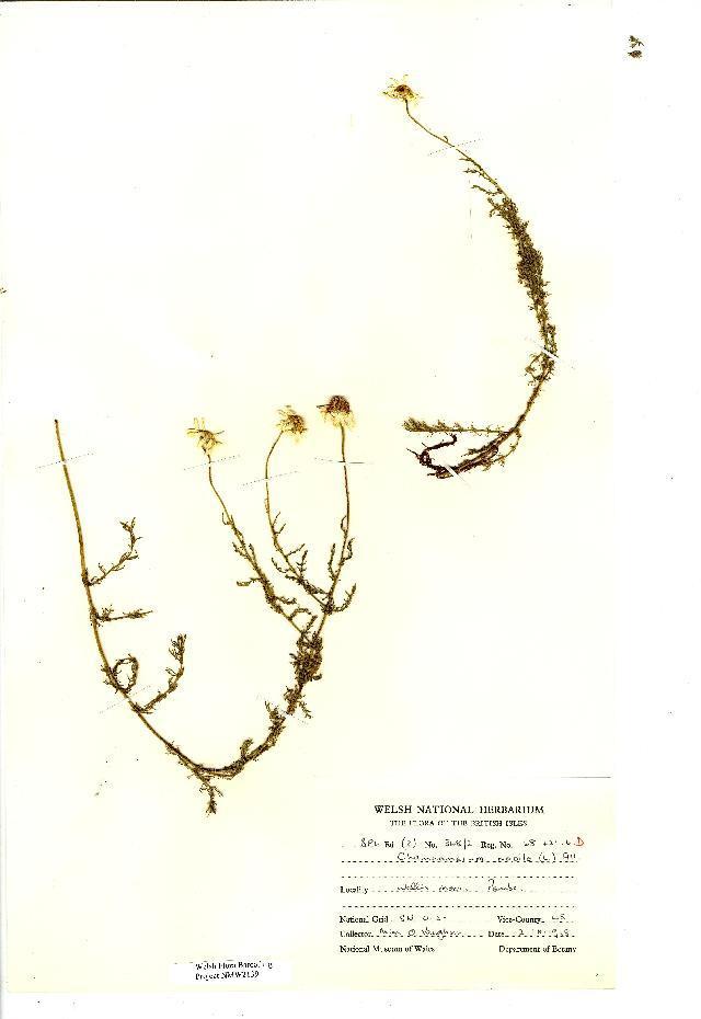 Image of Roman Chamomile