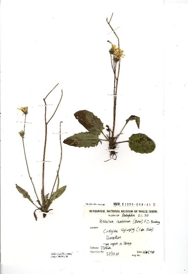 Image of <i>Hieracium agg</i>
