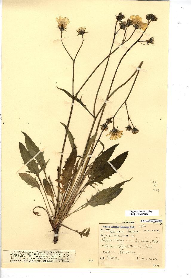 Image of <i>Hieracium agg</i>