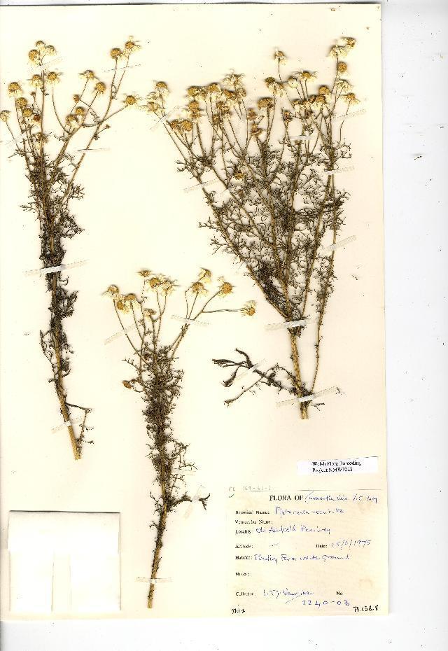 Image of German chamomile