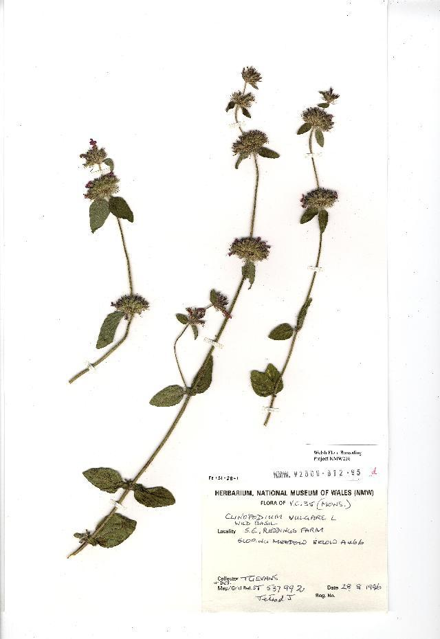 Image of Wild Basil