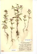 Image of narrowleaf hempnettle
