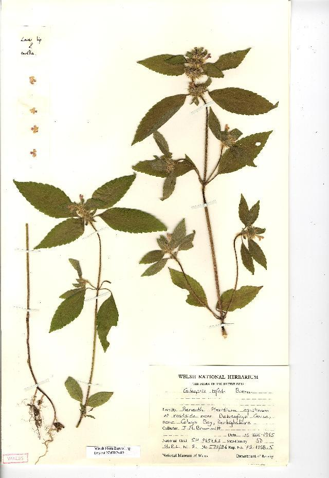 Image of splitlip hempnettle