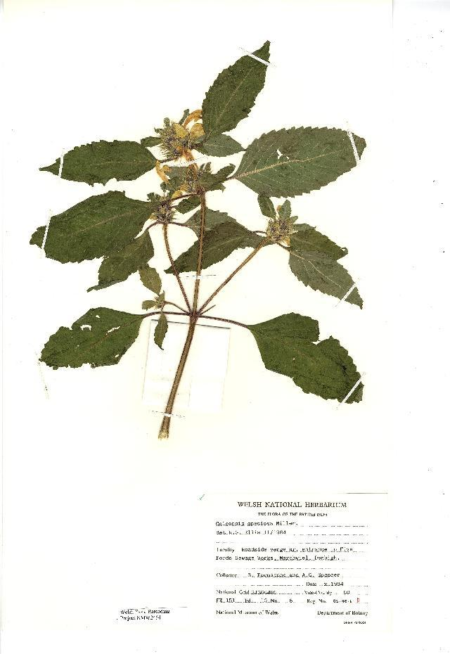 Image of Edmonton hempnettle