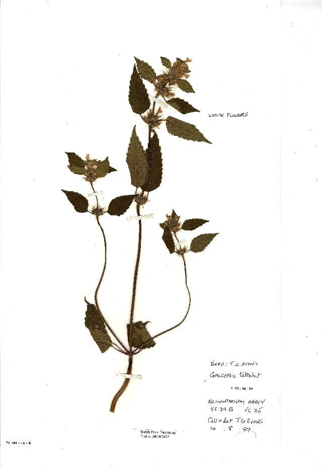 Image of brittlestem hempnettle