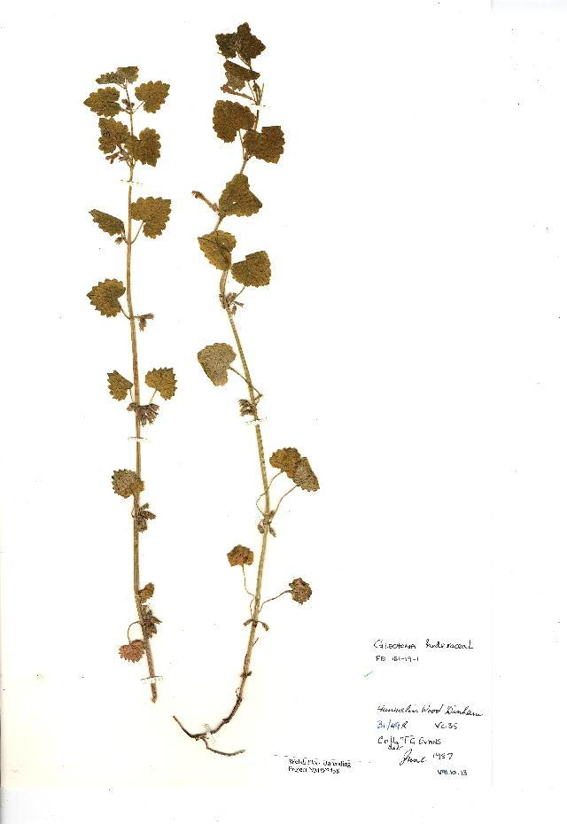 Image of ground ivy
