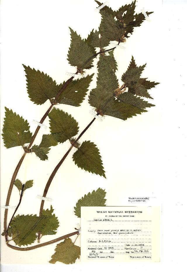 Image of white deadnettle
