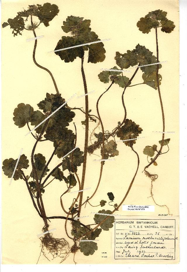 Image of <i>Lamium confertum</i> Fr.