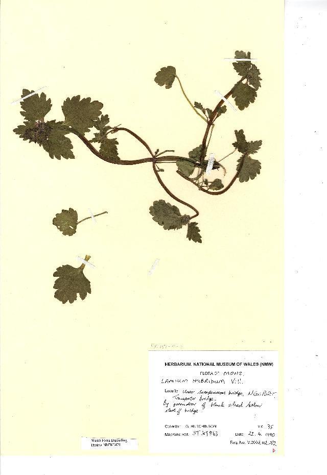 Image of <i>Lamium hybridum</i>