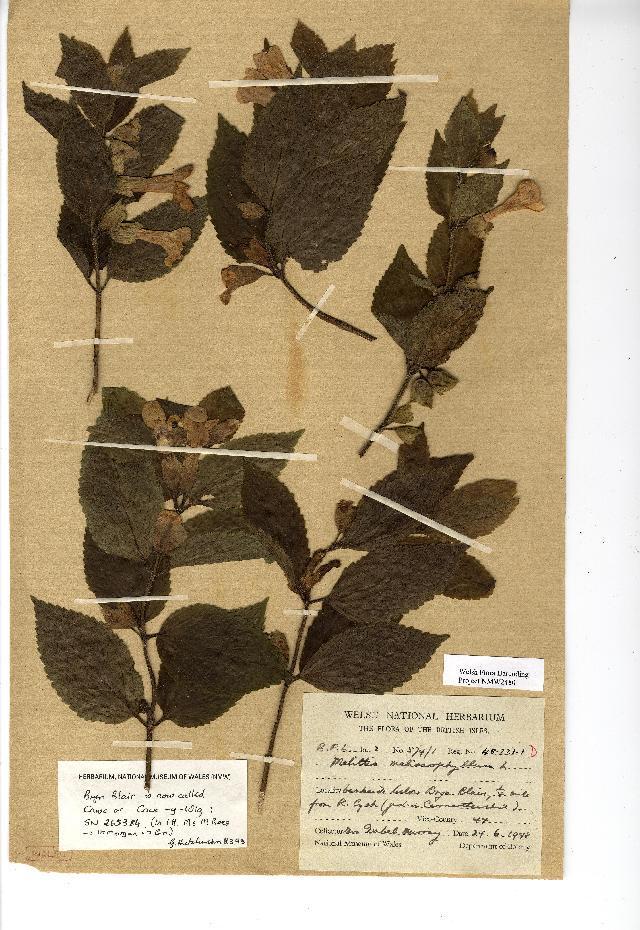 Image of <i>Melittis melissophyllum</i> L.