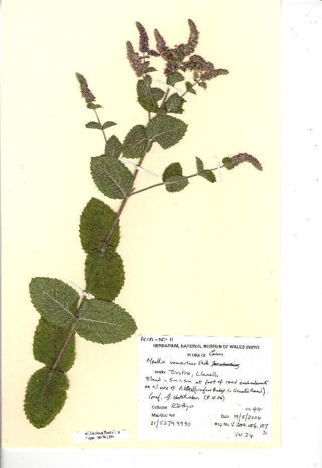 Image of Apple Mint