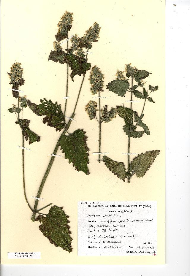 Image of catnip