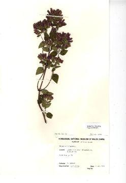 Image of oregano