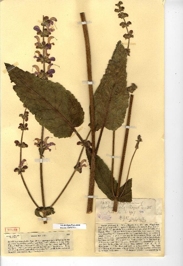 Image of introduced sage