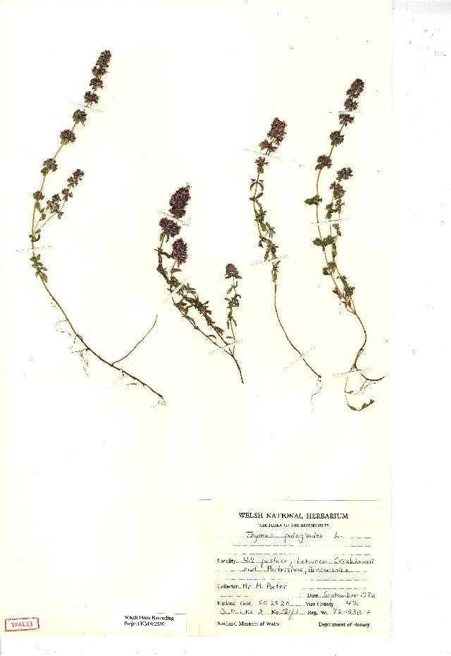 Image of Large Thyme