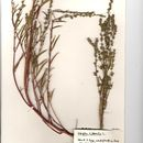Image of Grass-leaved orache