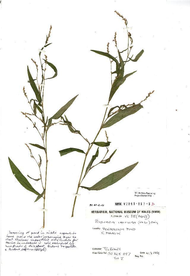 Image of <i>Persicaria mitis</i> (Schrank) Asenov