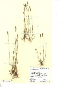 Image of yellow hairgrass