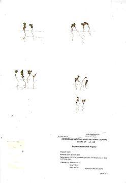 Image of <i>Euphrasia cambrica</i> Pugsley