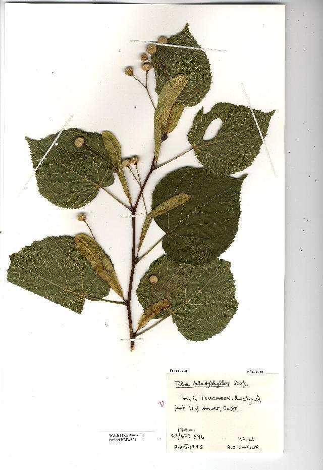 Image of Large-leaved Lime