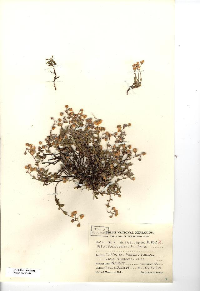 Image of Hoary Rock-rose