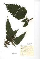 Image of Common Nettle
