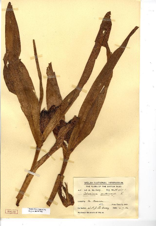 Image of Autumn crocus