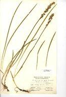 Image of Bog asphodel