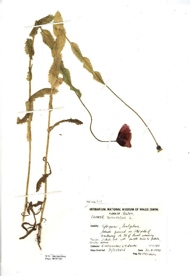 Image of opium poppy