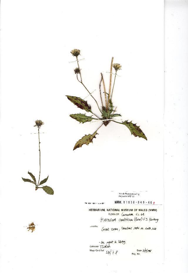 Image of <i>Hieracium cambricum</i> (Baker) F. Hanb.