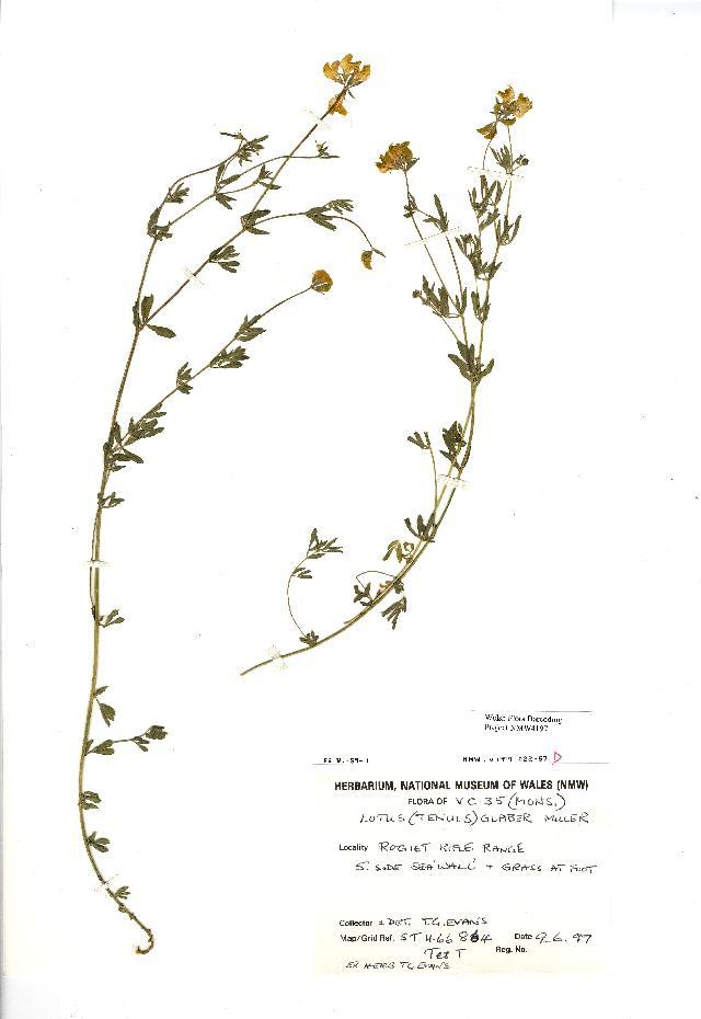 Image of narrow-leaf bird's-foot trefoil