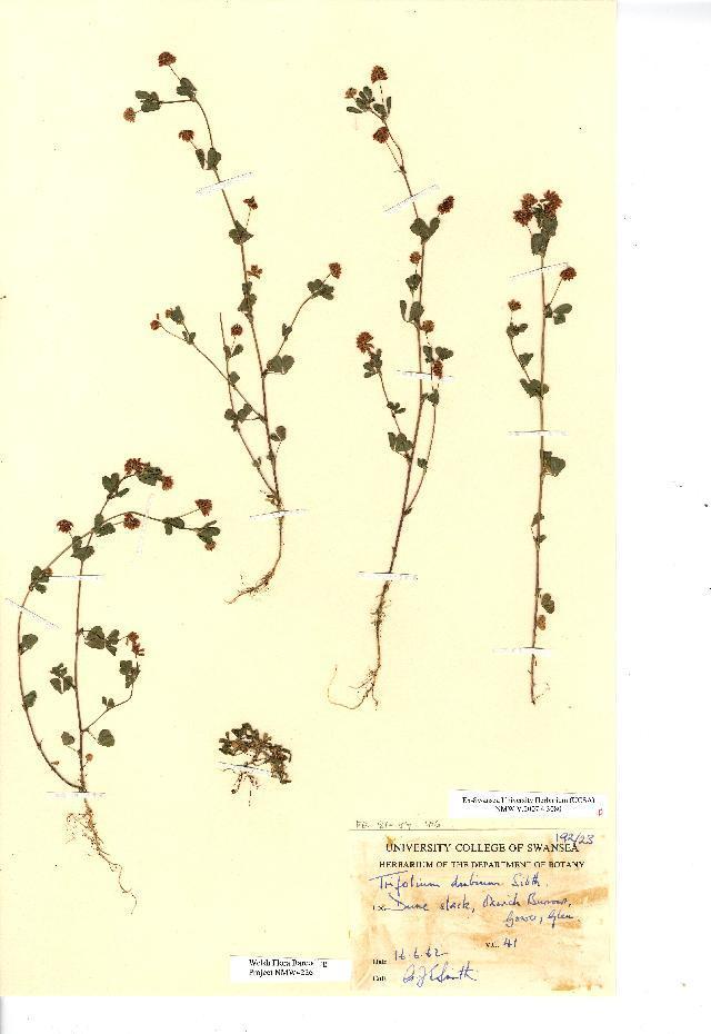 Image of Lesser Hop Trefoil
