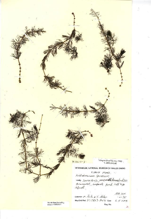 Image of Eurasian watermilfoil